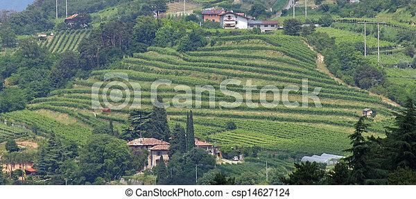 Vite, terrazzamento, coltivazione, italia, collina foto d\'archivio ...