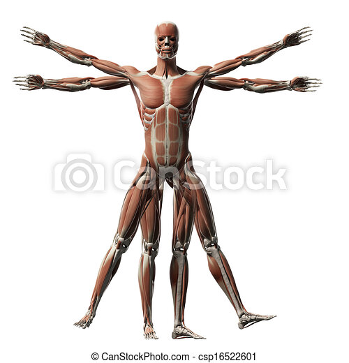 Vitruvian man - muscle system - csp16522601