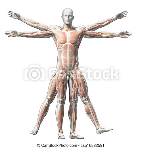 Vitruvian man - muscle system - csp16522591