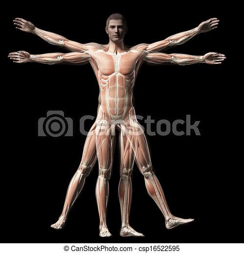 Vitruvian man - muscle system - csp16522595