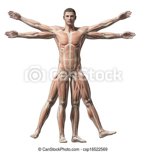 Vitruvian man - muscle system - csp16522569