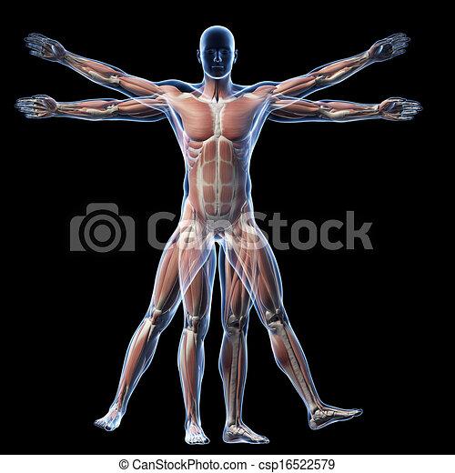 Vitruvian man - muscle system - csp16522579