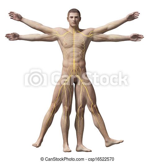 Vitruvian man - nervous system - csp16522570