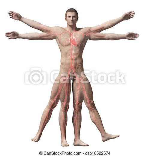 Vitruvian man - vascular system - csp16522574