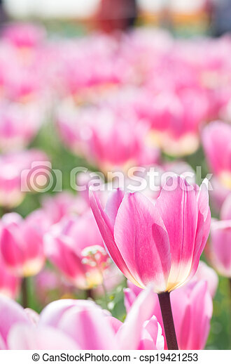 vivid pink tulip flowers - csp19421253