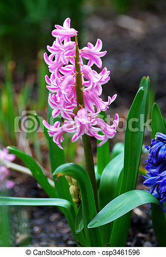 Vivid small pink flowers in a garden during Spring time - csp3461596
