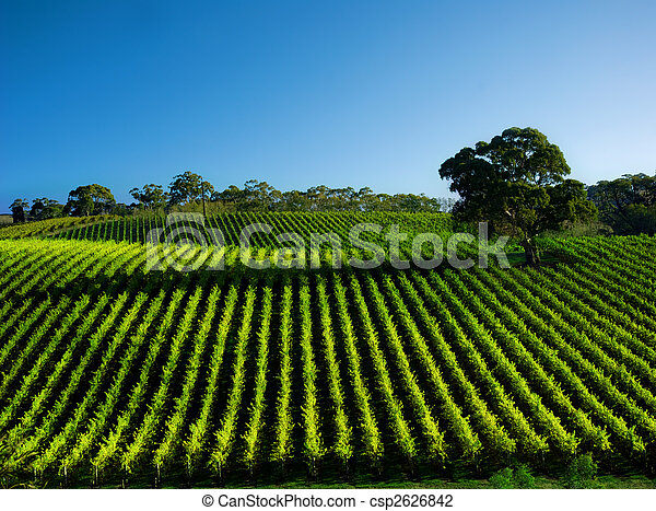 Vivid Vineyard - csp2626842