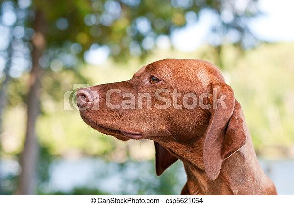 Vizsla Dog Closeup in the Forest - csp5621064