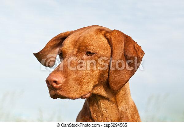 Vizsla Dog (Hungarian Pointer) Closeup - csp5294565