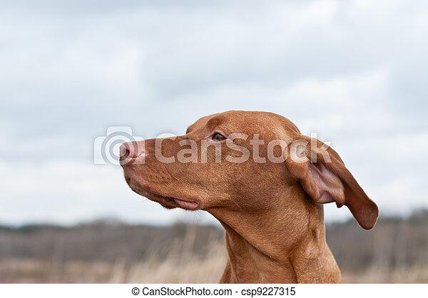 Vizsla Dog (Hungarian Pointer) in a Field - csp9227315