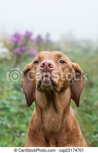 Vizsla dog (Hungarian Pointer) in a field. - csp23174701