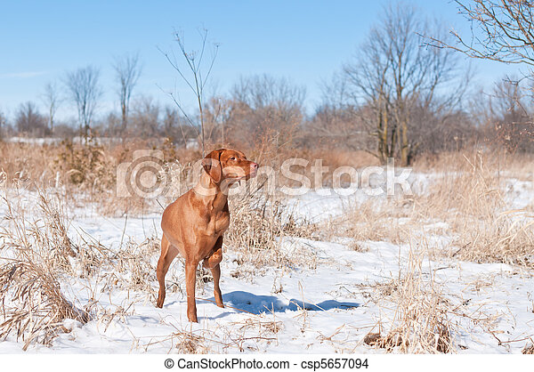 Vizsla dog (Hungarian pointer) pointing in a snowy field. - csp5657094