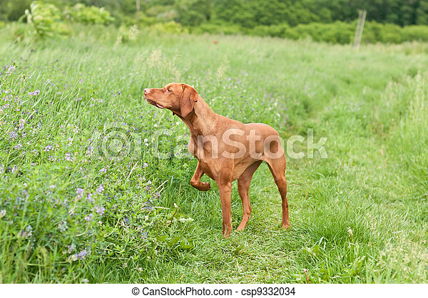 Vizsla Dog (Hungarian Pointer) Pointing in a Field - csp9332034
