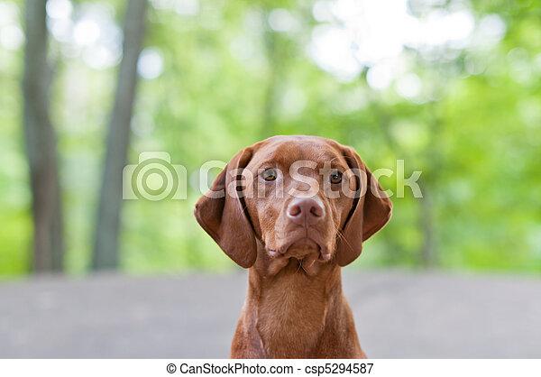 Vizsla Dog (Hungarian Pointer) Portrait - csp5294587
