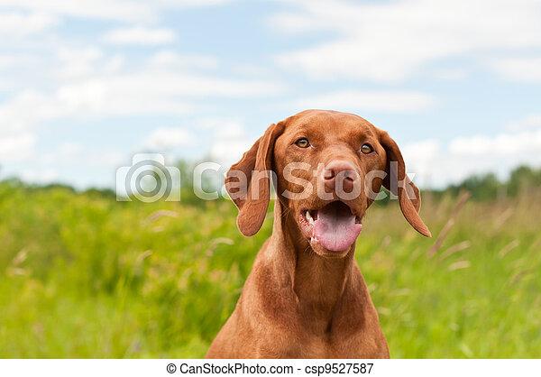 Vizsla Dog (Hungarian Pointer) Portrait - csp9527587