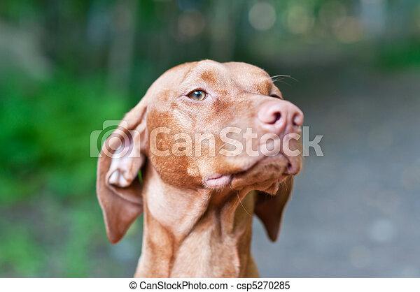 Vizsla Dog (Hungarian Pointer) Portrait - csp5270285