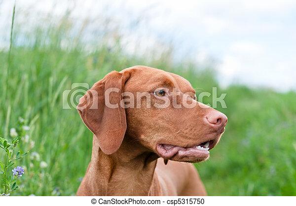 Vizsla Dog (Hungarian Pointer) Portrait - csp5315750