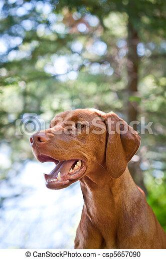 Vizsla dog (Hungarian pointer) portrait - csp5657090