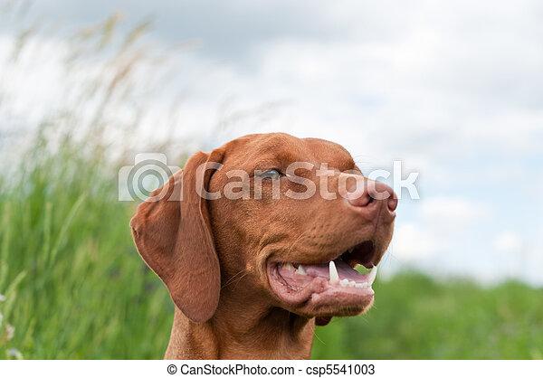 Vizsla Dog (Hungarian Pointer) Portrait - csp5541003