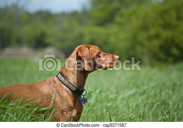 Vizsla Dog (Hungarian Pointer) Standing in a Green Field - csp5371587
