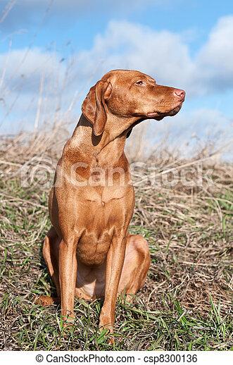 Vizsla Dog in a Field - csp8300136