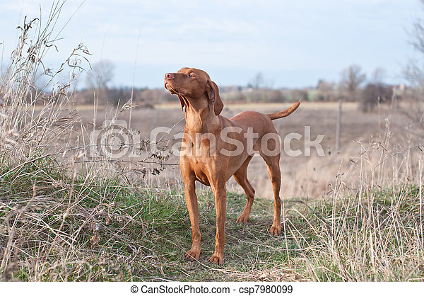 Vizsla Dog in a Field - csp7980099