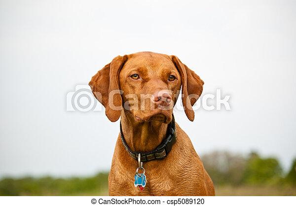 Vizsla Dog in a Field - csp5089120