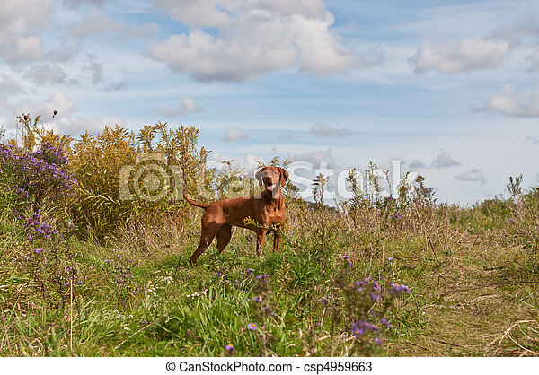 Vizsla Dog in a Field - csp4959663
