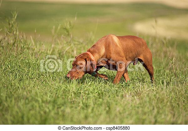 Vizsla dog in field - csp8405880
