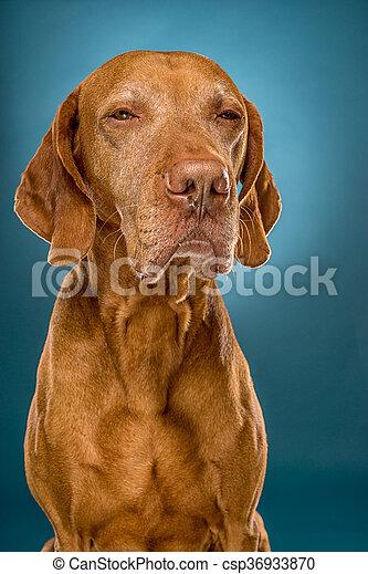 vizsla dog in studio - csp36933870