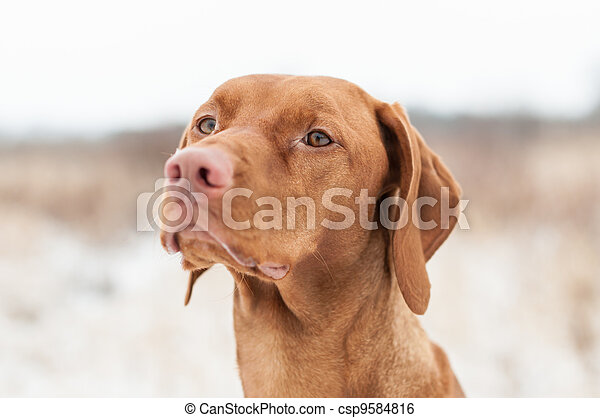 Vizsla Dog in Winter - csp9584816