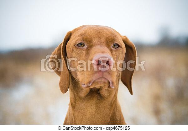 Vizsla Dog in Winter - csp4675125