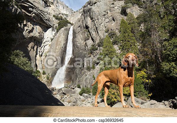 vizsla dog in Yosemite - csp36932645