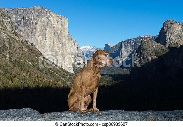 vizsla dog in Yosemite - csp36933627