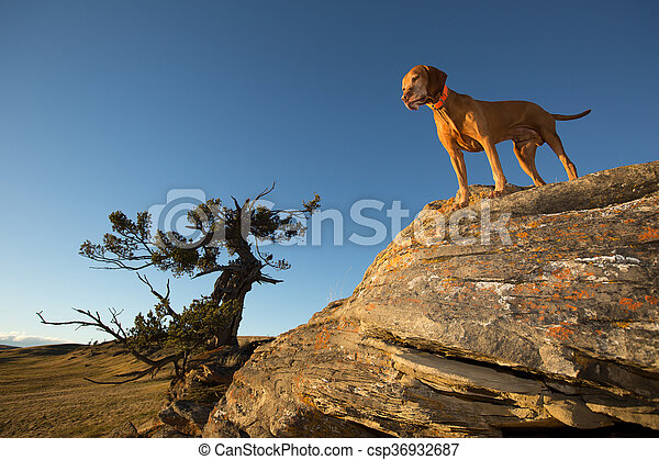 vizsla dog on a cliff - csp36932687
