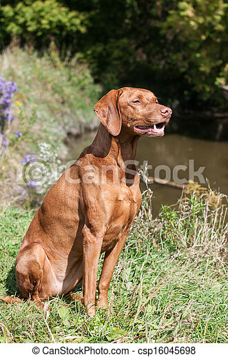 Vizsla Dog Outside in Autumn - csp16045698