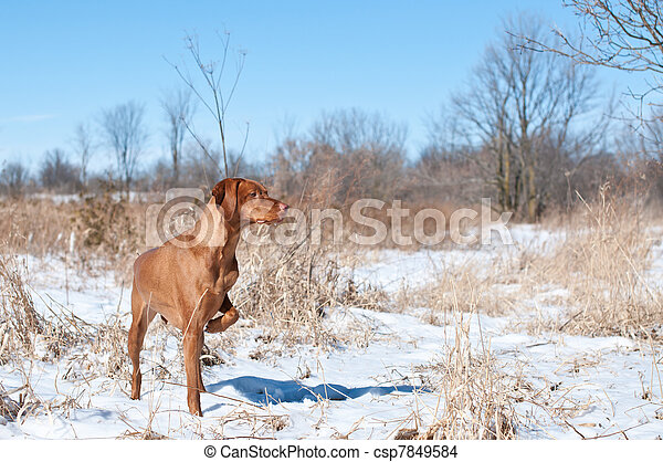 Vizsla Dog Pointing in a snowy field - csp7849584