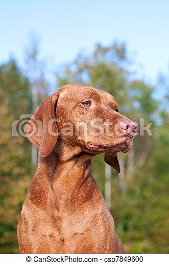 Vizsla Dog Portrait in Autumn - csp7849600
