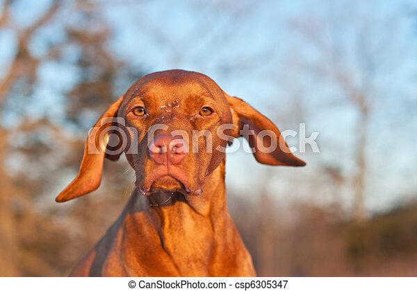 Vizsla Dog Portrait in winter. - csp6305347