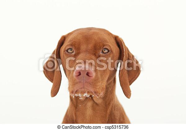 Vizsla Dog Portrait in Winter - csp5315736