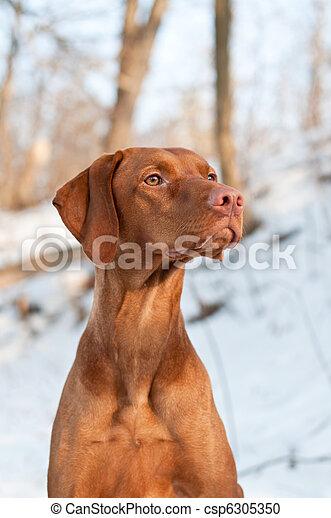 Vizsla Dog Portrait in winter. - csp6305350
