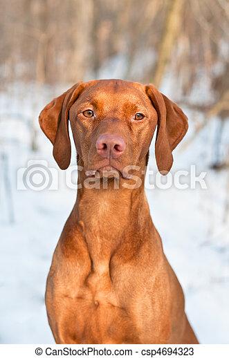 Vizsla Dog Portrait in winter. - csp4694323