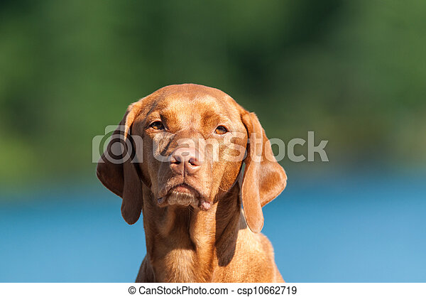 Vizsla Dog Portrait - csp10662719