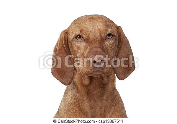 vizsla dog portrait - csp13367511
