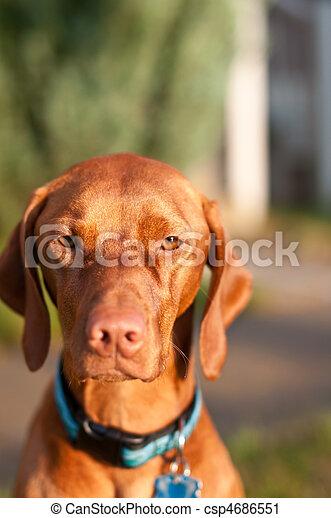 Vizsla Dog Portrait - csp4686551