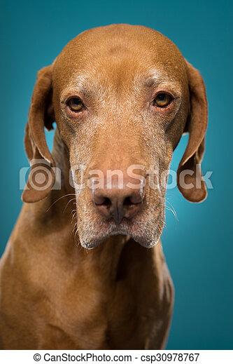 vizsla dog portrait - csp30978767