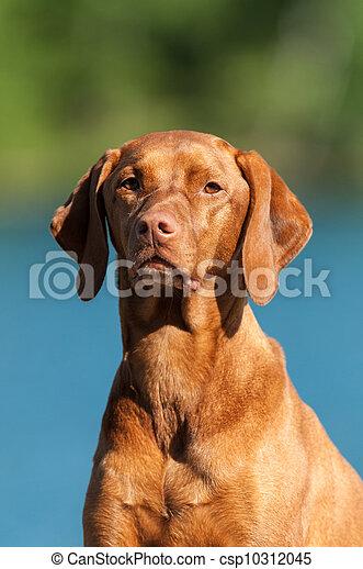 Vizsla Dog Portrait - csp10312045