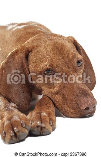 vizsla dog portrait - csp13367398