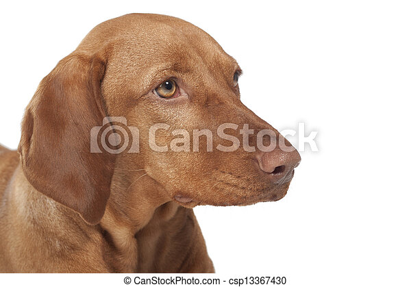 vizsla dog portrait - csp13367430