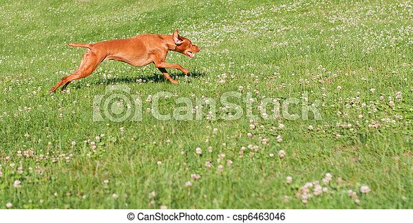 Vizsla Dog Running in the Grass - csp6463046